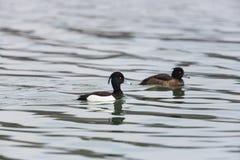 Portrait of a couple tufted ducks Aythya fuligula while swimmi Royalty Free Stock Photography