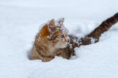 Portrait of the covered with snowflakes cat. Wading through deep snow Stock Photos