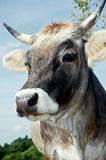 Portrait of a Cow. Close Up of a grey Swiss Cattle Stock Image