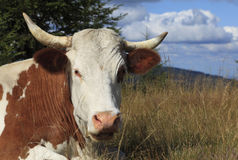 Portrait of a cow Stock Image