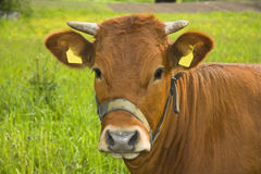 Portrait of a cow stock photos