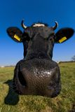 Portrait of the cow Royalty Free Stock Images
