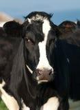 Portrait of cow Stock Image
