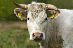 Portrait from a cow Royalty Free Stock Photo