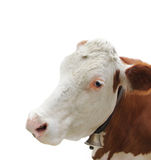 Portrait of Cow Royalty Free Stock Image