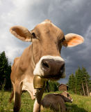 Portrait of Cow Stock Photography