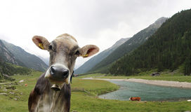 Portrait of Cow Stock Image