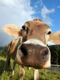 Portrait of Cow Royalty Free Stock Photography