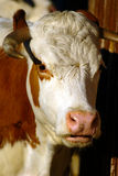Portrait of a Cow. A portrait of a cow in the zoo Royalty Free Stock Photos