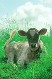 Portrait of a cow. Royalty Free Stock Photo