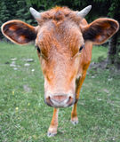 The portrait of cow on the background of field. Beautiful funny cow on cow farm. Young brown calf staring at the camera. Stock Images