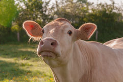 Portrait of a cow in a blurred natural environment Stock Images
