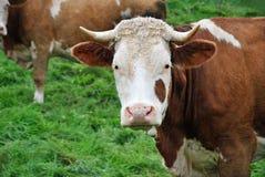 Portrait of a Cow Stock Photo
