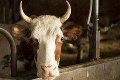 Portrait of a Cow Royalty Free Stock Images