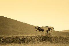Portrait of a cow in the country in sepia colors. Royalty Free Stock Photo