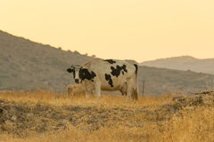 Portrait of a cow in the country in sepia colors. Close up Royalty Free Stock Photo