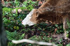 Cow eating bracken. Portrait of a cow eating bracken in the woods royalty free stock photo