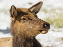 Portrait of a Cow Elk. Rocky Mountain Elk (Cervus canadensis nelsoni) feeding during winter. Snow in background gives a high key look Stock Photo