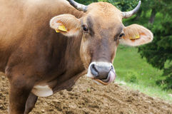 Portrait of a cow. Royalty Free Stock Images