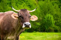 Portrait of a cow with flies on the face. Animal in spring green environment royalty free stock photography
