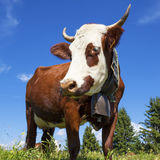 Portrait of cow in french alps Stock Photography