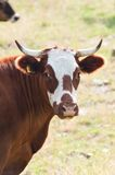 Portrait of a cow grazing Stock Image