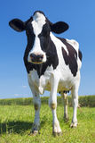 Portrait of cow on green grass Royalty Free Stock Photo