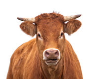 Portrait of a Cow Stock Photography