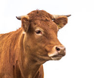 Portrait of a Cow. Grown for Organic Meat on a White Background Royalty Free Stock Photo