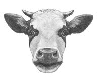Portrait of Cow. Hand drawn illustration Royalty Free Stock Photography