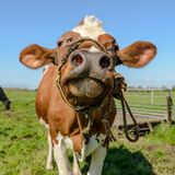 Portrait of a cow with his wet nose close to the camera. stock photography