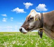 Portrait of a cow Stock Images