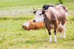Portrait of cow on pasture Stock Images
