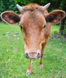 The portrait of cow on a pasture Stock Photography