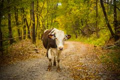 Portrait of a cow on a rural road in Bucovina. Portrait of a cow on a rural road with a beautiful autumn landscape background in Prisaca Dornei village, Suceava Royalty Free Stock Photo
