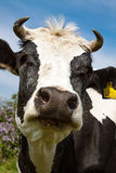 Portrait of a cow on a summer pasture Stock Image