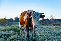 Portrait of a cow in the village stock photography