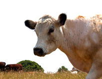 Portrait of a cow walking past. A closeup of a cow just walking past royalty free stock image