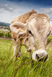 Portrait of cow who is grazing outside at pasture land Royalty Free Stock Image