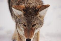 Portrait of Coyote Stock Photo
