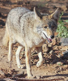 A Portrait of a Coyote, Canis latrans Royalty Free Stock Images