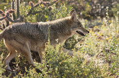 A Portrait of a Coyote, Canis latrans Royalty Free Stock Image