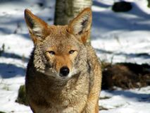 Portrait of coyote in winter Stock Images