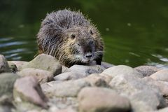 Portrait of coypu myocastor coypus by the river. Photography of nature and wildlife stock photo