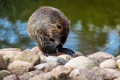 Portrait of coypu nutria. Myocastor coypus, sitting near the rivershore. Photography of lively nature and wildlife stock images