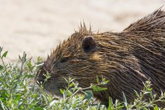 Portrait of Nutria at Pont du Gau in Camargue. Portrait of coypu at Pont du Gau in Camargue outdoors in France stock images