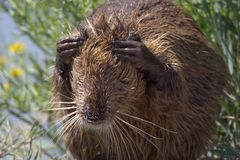 Portrait of Nutria at Pont du Gau in Camargue. Portrait of coypu at Pont du Gau in Camargue outdoors in France stock image
