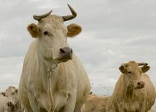 Portrait crémeux de vache à couleur dans le pâturage photographie stock libre de droits
