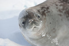Portrait of crabeater seal lying on the ice. Royalty Free Stock Image