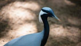 Portrait of crane bird with white head Stock Photo